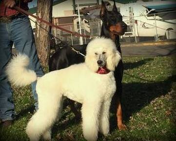 Picture of white standard poodle with black doberman