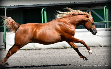 Picture of Arabian stallion for sale